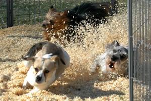 Dog_Race